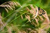 Beauty Amongst The Grasses (Wes Iversen) Tags: hss michigan monarch shiawasseenationalwildliferefuge sliderssunday tamron150600mm butterflies digitalart insects nature painterly