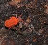 Orange velvet Mite  microtrombidiid possibly Ctenerythraeus sp Valgothrombiinae Trombidiidae hunting larvae of mold midge fly Forcipomyiinae Airlie Beach rainforest P1180457 (Steve & Alison1) Tags: orange velvet mite sp trombidiidae hunting larvae mold midge fly forcipomyiinae airlie beach rainforest microtrombidiid possibly ctenerythraeus valgothrombiinae