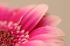 IMG_8594_1_2018-StilLife_flower_W (InesLFGuerriero) Tags: 2018 flower macro pink stillife stilllife canonef100mm ef100mm canon macrophotography nature color