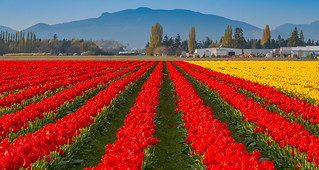 Red and Yellow Tulips - Skagit Valley