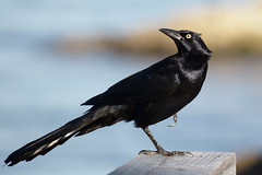boat_tailed_grackle