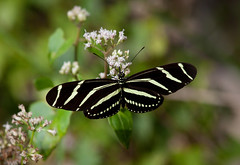 Zebra Longwing Butterfly (ashockenberry) Tags: butterfly zebra longwing nature naturephotography outdoor travel florida insect beautiful