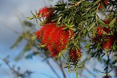 Red bottlebrush flowers at my front yard (Tatters ✾) Tags: australia flowers redflowers red bottlebrush callistemon myrtaceae
