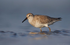 Red Knot (Cameron Darnell) Tags: wave threatened conservation sand sea avian birding canon tamron florida january cameron redknot calidris shorebird water animal nature 2018 knot