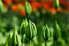 Der Frühling ruft  *** ich komme (chelis6252) Tags: tulpen blumen sony77 alpha blüten