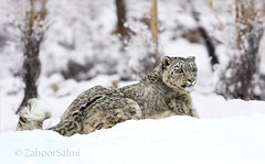 Snow Leopard (Zahoor-Salmi) Tags: zahoorsalmi salmi wildlife pakistan wwf nature natural canon birds watch animals bbc flickr google discovery chanals tv lens camera 7d mark 2 beutty photo macro action walpapers bhalwal punjab