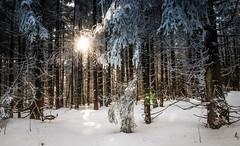 Sunrised Woods [3/6] (gabormatesz) Tags: rožňava košickýkraj slovakia sk intothedeepwoods snow canon 80d photography winter wintermadness crazytrip tree forest woods sunset nature wood sunrise