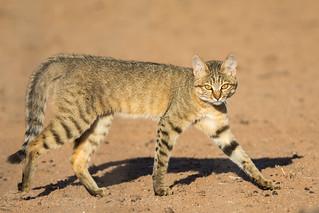 African Wild Cat again!