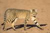 African Wild Cat again! (Willievs) Tags: africanwildcat wildlife kgalagadi felissilvestris specanimal specanimalphotooftheday