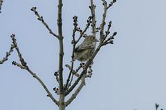Fieldfare in a tree. (ray 96 blade) Tags: birds fieldfare wildlife springwatch groveferry