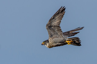 JWL4179  Peregrine Falcon ...