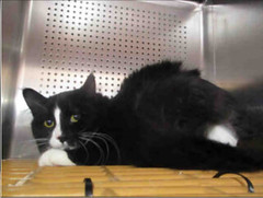 A699278 (yycpetrecovery) Tags: cat cas blackwhite foundsighted