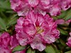 I'm ready for spring! (lovesdahlias 1) Tags: rhododendrons flowers blossoms gardens nature summer newengland