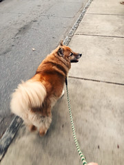 53/365 (moke076) Tags: 2018 365 project 365project project365 oneaday photoaday iphone cell cellphone mobile vscocam vsco tule dog pet furry animal heavy coat fluffy walking sidewalk foxy leash
