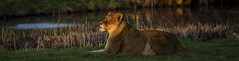 Lioness Catching the Evening Light-1 (tiger3663) Tags: lioness evening light catching yorkshire wildlife park