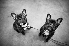 Frenchies! (brendon_curtis) Tags: puppy pup dog dogs puppies canine candid wide angle sigma 20mm f14 art lens canon 5dmkiii full frame eos