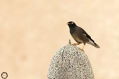 m y n a (NadzNidzPhotography) Tags: nadznidzphotography 7dwf fauna bird myna pose portrait portraiture hss sliderssunday