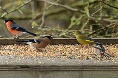 Lunch Time (Mrs Airwolfhound) Tags: summerleys beds canon 70d wildlife trust sunny spring bullfinch greenfinch long tailed tit