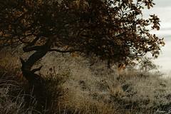 Beauté d'un matin d'hiver (annabuni) Tags: beauté dun matin dhiver beauty winter morning chêne arbre tree gelée glacé blanche froid cold décembre december automne autumn campagne anna bunichon buni b annarchie tamron lens 90mm f28 vi usd macro sony a58
