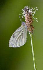 Green-veined White - Pieris napi (Ivan Lynas Nature Photography) Tags: