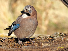 Garrulus glandarius  (Arrendajo euroasiático) (16) (eb3alfmiguel) Tags: aves passeriformes corvidos coracidae arrendajo euroasiático garrulus glandarius corvidae pájaros