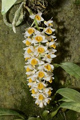 Dendrobium thyrsiflorum (plantart) Tags: dendrobium thyrsiflorum orchid nilgiris greenhouse bulbophyllum nimal plantart botanic western ghat south india hydroponics phalanopsis plant flower beautiful love amazing nature unique white yellow art detail portrait beauty pink green botany