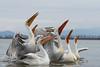 Yes we can dance ... :-) (Claudia Brockmann) Tags: natur nature see sea kerkinisee griechenland greece wasser water pelikan pelikane pelican dalmatianpelican krauskopfpelikan animal animals tier tiere