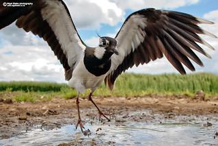 Northern Lapwing, Vanellus vanellus.