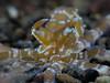 Meet The Eye (oceanis scuba) Tags: mimic octpus canon g7x underwater photography macro supermacro indonesia bali tulamben scuba diving