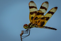 "halloween on pelican island (robertskirk1) Tags: ""animalplanet"" nature outdoor wildlife insect dragonfly halloween pennant pelican island national refuge florida fl orange brown"