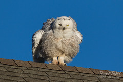 Snowy Owl shakes it up