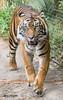 Joanne (ToddLahman) Tags: joanne female mammal outdoors beautiful sumatrantiger safaripark sandiegozoosafaripark canon7dmkii canon canon100400 closeup tiger tigers tigertrail escondido eyelock exhibita