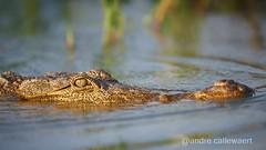 1709 Kenya 2320 (andre.callewaert) Tags: kenya baringo crocodile