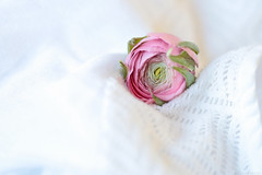 Happy Weekend ! (eleni m, longing for spring...) Tags: ranunculus pink flower plant indoor lace white macro dof happyweekend friday weekend green sundaylights