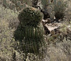 Crested barrel cactus from the Sabino Walkway (Distraction Limited) Tags: sabinocanyonrecreationarea sabinocanyon coronadonationalforest santacatalinamountains catalinamountains catalinas nature tucson arizona sabinocanyon20180221 arizonabarrelcactus ferocactuswislizenii barrelcactus crestedcactus cristatecactus ferocactus cactus sabinowalkway