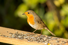 2018 02 15 erithacus rubecola@cussignacco-0112 (- Stefano Benedetto -) Tags: birdwatching nature birds wildnature erithacusrubecola