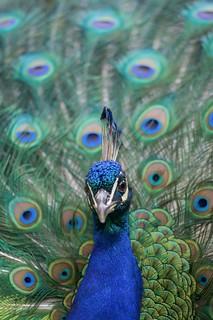 Dizzy peacock