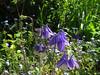 CKuchem-5892 (christine_kuchem) Tags: akelei blüte blüten garten insekten nahrung natur naturgarten nektar pflanze privatgarten schatten schattengarten selbstaussaat sommer wildpflanze blau lila naturnah natürlich wild zweifarbig