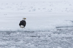 (Rick 2025) Tags: birds raptors eagles baldeagles northernbaldeagles wolfeislanderiii wolfeisland