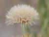Unknown flower head (aaardvaark) Tags: 201801221v0a2404flower59x44 flower callumbrae cnp canberra act australia