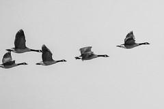 Canadian Geese, processed as a painting (Peeb-OK) Tags: birds animals wildlife nature nikon goose geese canadiangeese bif birdinflight birdsinflight photoshop monochrome mono bw blackandwhite