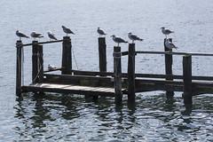 Rügen - Kap Ancona (cmfritz) Tags: deutschland inselrügen mecklenburgvorpommern vitt wittow meer möven vögel wasser