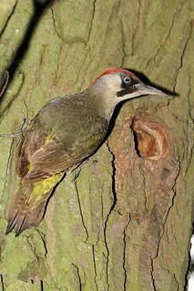 Green Woodpecker (3)