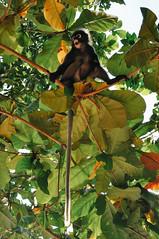 monkey business (marin.tomic) Tags: thailand thai asia beach monkey animal travel southeastasia nikon d90 summer holiday vacation traveler tourist krabi railay