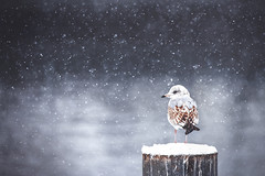 Winter silence (Chris Herzog) Tags: ifttt 500px frozen ice winter snow cold temperature frost blizzard snowing icicle fog snowdrift animal gull bird mood silence