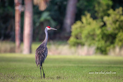 Out for a Stroll (tclaud2002) Tags: crane bird sandhill sandjhillcrane walk stroll nature mothernature wildlife animal phippspark stuart florida usa outdoors greatoutdoors