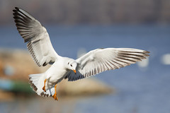 Landing (Nemanja Zotovic PHOTOGRAPHY) Tags: river 2018 sunshine winter beak gull gray orange claws feather wings fly landing sky background bokeh colourful spread tail high