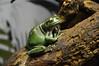 Australian Green Tree Frog (Litoria caerulea) (Seventh Heaven Photography) Tags: australian green tree frog whites dumpy litoria caerulea animal amphibian melbourne sealife sea life aquarium victoria australia nikond3200