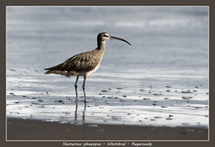 Whimbrel (Jan H. Boer, Nature photographer) Tags: numeniusphaeopus whimbrel regenwulp birds shorebirds nature wildlife costarica tortuguero nikon d500 afsnikkor200500f56eedvr jan´sphotostream2018