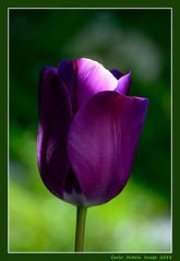 Tulip (cienne45) Tags: carlonatale cienne45 natale italy